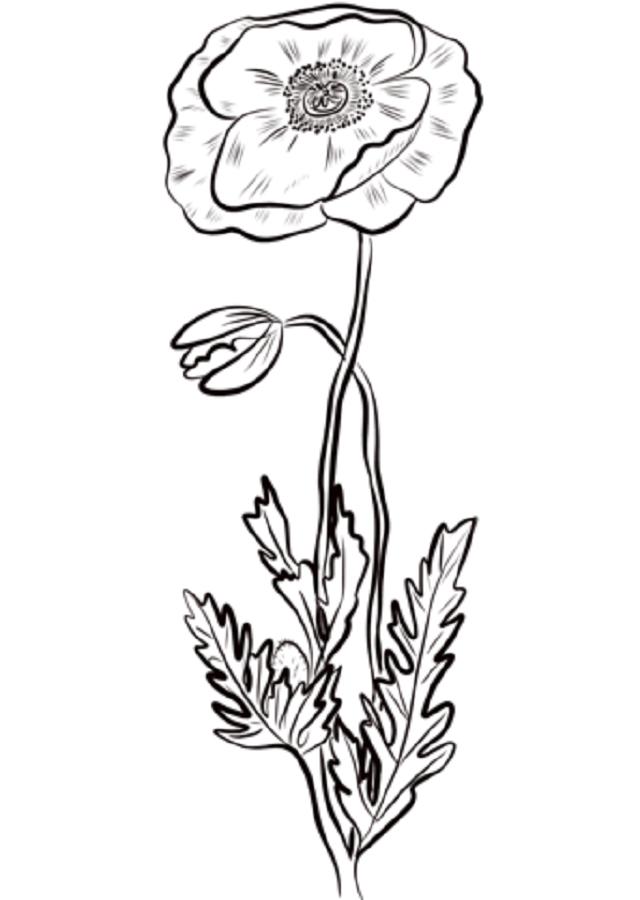 La amapola es una de las flores más conocidas del entorno de las plantas de jardín. Seguramente hayas escuchado hablar bastante de ella o leído sobre la misma porque es de lo más popular y común. En cualquier caso, es interesante saber que se distinguen bien dos tipos de amapolas; los nombres científicos responde a los siguiente: Papaver y Papaver Rhoeas.