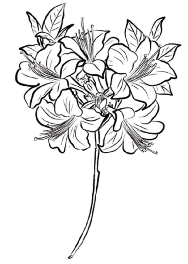 La azalea es una planta que pertenece a la familia de las Ericáceas. Esta planta posee hermosas flores en forma de campanas que pueden ser de tamaños grandes y también se presentan en abundantes racimos.