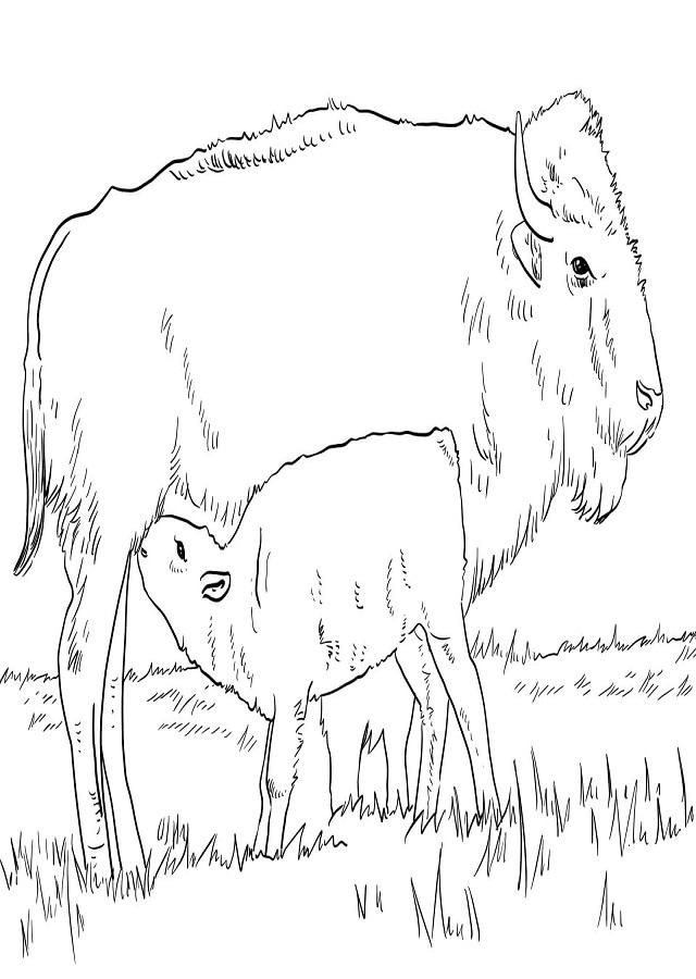 ▷Dibujos Búfalos y Bisontes para colorear - Dibujos para colorear