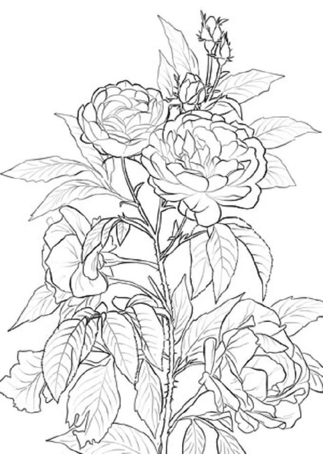 Las rosas son miembros del grupo de las angiospermas; esto significa que las especies silvestres producen, además de las encomiables flores, frutos llamados escaramujos. Cada flor cuenta con ambos órganos reproductores (femenino y masculino) y contiene varios ovarios en el interior del hipanto, una estructura con forma de copa cubierto con un tejido que produce néctar. Normalmente, las rosas son polinizadas por insectos y en cada uno de los rojos escaramujos se encuentran entre 5 y 160 pequeñas semillas. Los escaramujos se forman a principios de verano o finales de primavera y son maduros a fines de verano o inicios de otoño.