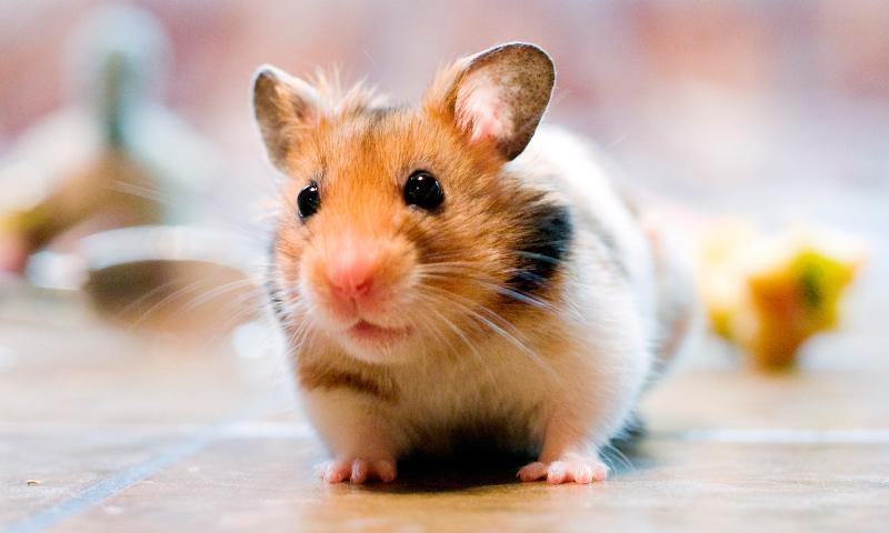imagen hamster para colorear