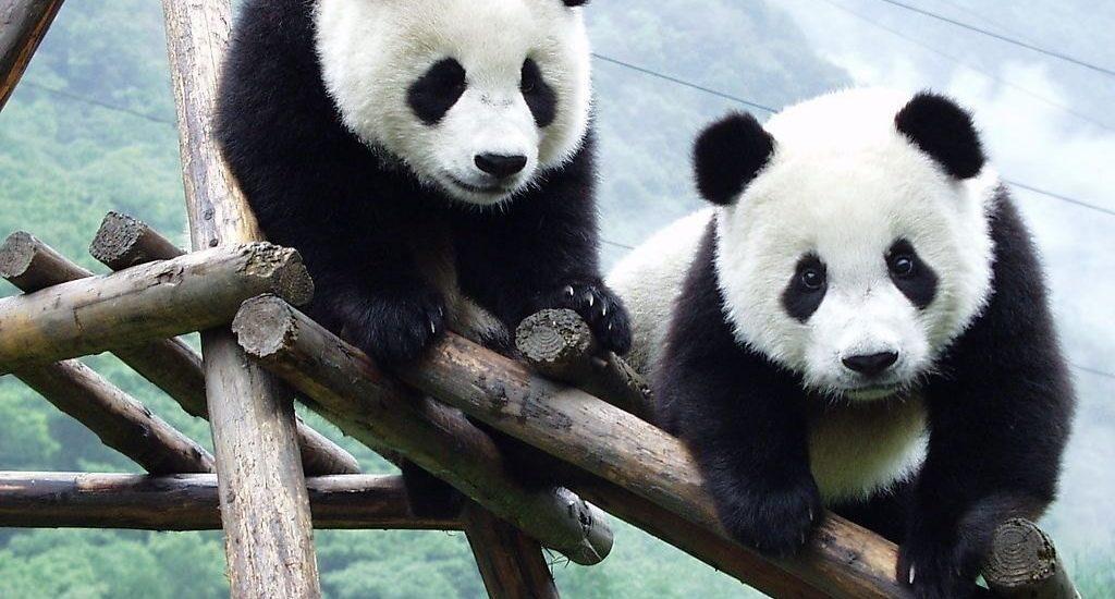 imagen osos pandas subido en ramas