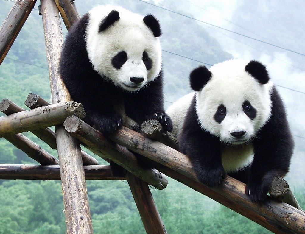 Osos Pandas Para Colorear Dibujosparacolorear Eu