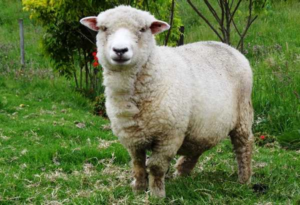 imagen oveja