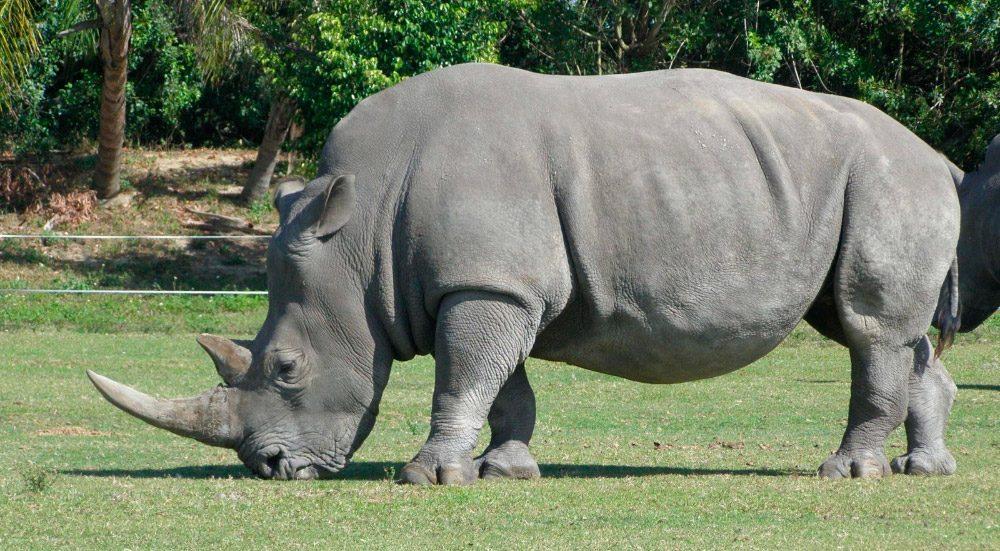 imagen rinoceronte comiendo hierba