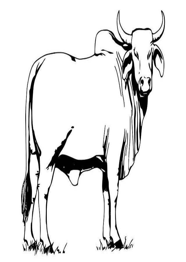 Toro Para Colorear Dibujos Para Colorear