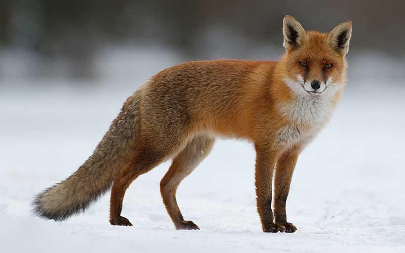 imagen animal zorro